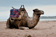 Camel Photos - Camel by Daniel Kocian