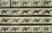 Black And White Prints Prints - Camel Print by Eadweard Muybridge