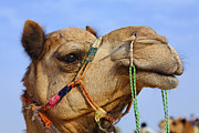 Camel Photos - Camel in the Thar Desert in Rajasthan India by Robert Preston