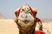 Laura Hiesinger Metal Prints - Camel kiss Metal Print by Laura Hiesinger