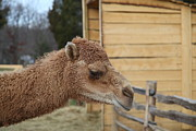 Mount Photos - Camel - Mt Vernon - 01132 by DC Photographer