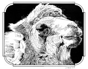 Camel Drawings - Camel by Paul Kmiotek