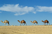 Camels Photos - Camel train by Anonymous
