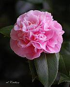 Rderder Photos - Camelia japonica by Roy Erickson