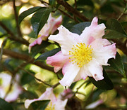 Tea Tree Flower Prints - Camellia Print by Andrea Anderegg