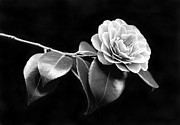 Camellia Photo Metal Prints - Camellia Flower in Black and White Metal Print by Jennie Marie Schell