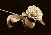 Camellia Photos - Camellia Flower in Sepia by Jennie Marie Schell