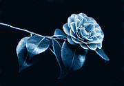 Camellia Photos - Camellia Flower Midnight Blue by Jennie Marie Schell