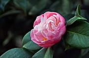Byron Varvarigos - Camellia Japonica