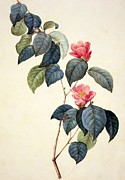 Color Green Drawings Posters - Camellia Japonica Poster by Pierre Joseph Redoute