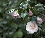 Camellia Japonica Posters - Camellia Magnoliaeflora  1 of 2 Poster by Terri Winkler