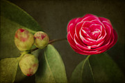 Camellia Photo Metal Prints - Camellia Metal Print by Rebecca Cozart