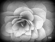 Camellia Study Print by Geri Glavis