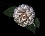 Found Art - Camellia by Walt Foegelle