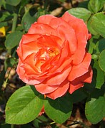 Camelot Photo Prints - Camelot Rose Print by Sara  Raber