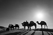 E Black Prints - Camels Print by Delphimages Photo Creations