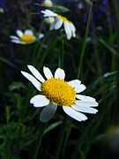 Eremia Catalin - Camomile flower
