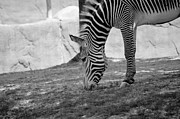 Leia Burt - Camouflage Zebra