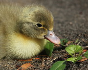 Ducklings Framed Prints - Can I eat that? Framed Print by Erin Tucker