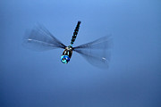 Blue Darner Dragonfly Posters - Canada Darner Dragonfly Flying Poster by Peggy Collins