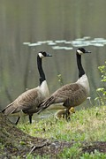 On Paper Photos - Canada Geese 274 by Joyce StJames