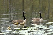 On Paper Photos - Canada Geese 275 by Joyce StJames