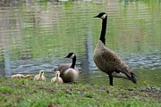 On Paper Photos - Canada Geese 276 by Joyce StJames