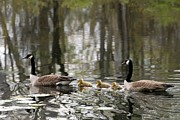 On Paper Photos - Canada Geese 277 by Joyce StJames
