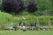 On Paper Photos - Canada Geese 283 by Joyce StJames
