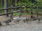 On Paper Photos - Canada Geese 288 by Joyce StJames