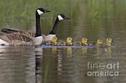 Linda Freshwaters Arndt - Canada Geese And Goslings