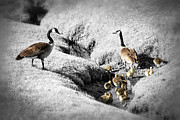 Caring Mother Prints - Canada geese family Print by Elena Elisseeva