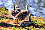 Honk Prints - Canada Geese Goslings Print by Nadine and Bob Johnston