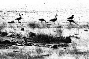 Feeding Birds Prints - Canada Geese in Black and White Print by Betty LaRue