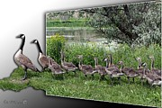 Picturesque Mixed Media Framed Prints - Canada Geese Framed Print by J McCombie