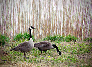 Brian Wallace Art - Canada Geese Pair by Brian Wallace