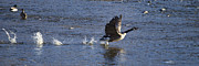 Goose In Water Prints - Canada Goose And Water Take Off   #7516 Print by J L Woody Wooden