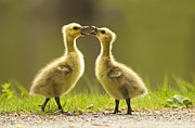 Baby Bird Prints - Canada Goose Babies Print by Mircea Costina Photography