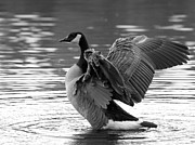 Wild Goose Framed Prints - Canada Goose black and white Framed Print by Sharon  Talson