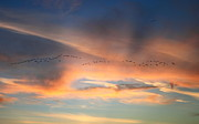 Concord Massachusetts Photo Posters - Canada Goose Flock Sunset Poster by John Burk