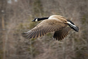 Pinion Art - Canada Goose Flying by Dancasan Photography