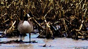 Goose In Water Posters - Canada Goose In Corn Field And Farm Pond Poster by Rosemarie E Seppala