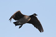 Canada Goose Art - Canada Goose in Flight 7D21951 by Wingsdomain Art and Photography