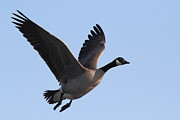 Flying Geese Framed Prints - Canada Goose in Flight 7D21955 Framed Print by Wingsdomain Art and Photography