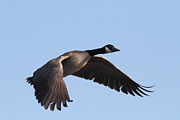Canadian Goose Framed Prints - Canada Goose in Flight 7D21956 Framed Print by Wingsdomain Art and Photography