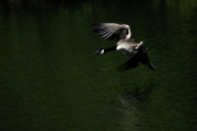 Feathered Prints - Canada Goose in Flight Print by Karol  Livote