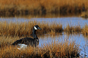 Autumn Photographs Prints - Canada Goose Print by Juergen Roth