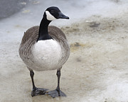 Goose In Water Posters - Canada Goose Makes a Stand in the Charles River Poster by Ilene Hoffman