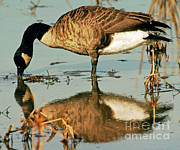 Geese Prints - Canada Goose Print by Millard H. Sharp