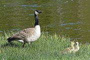 Canada Goose Mom With Goslings Print by Bruce Gourley